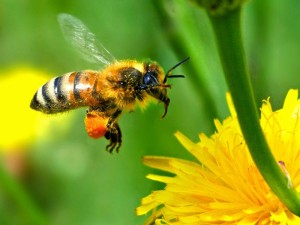 пчела с пыльцой