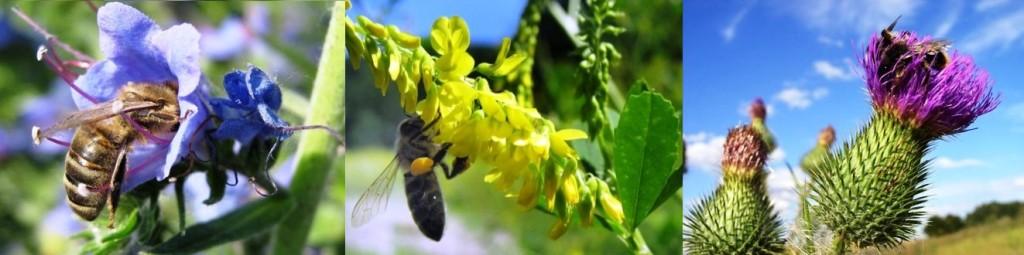синяк обыкновенный, донник желтый, лопух или чертополох.